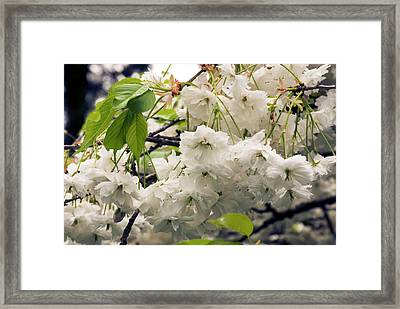 Prunus 'shogetsu' Flowers Framed Print by Adrian Thomas