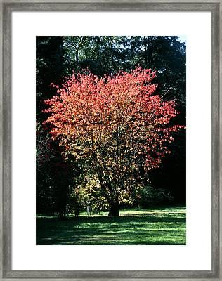 Prunus Sp Framed Print by Chris Dawe/science Photo Library