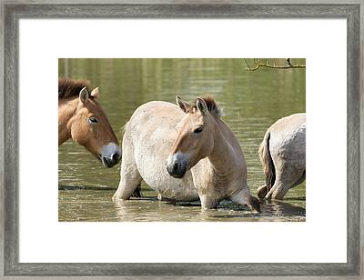 Przewalskis Horses Or Takhi (equus Framed Print by Martin Zwick