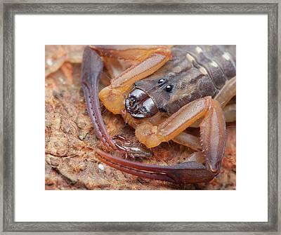 Pseudoscorpion On Bark Scorpion Framed Print by Melvyn Yeo
