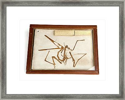Pterodactyl Fossil Cast Framed Print by Ucl, Grant Museum Of Zoology
