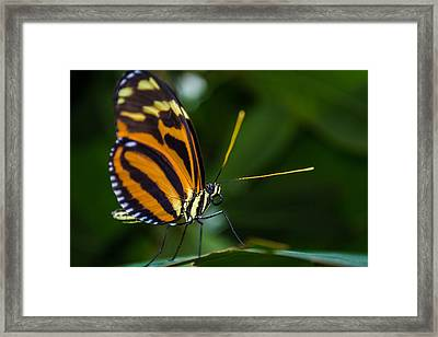 Pteronymia Perched Framed Print