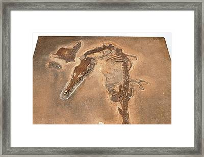 Pterosaur Fossil Framed Print by Ucl, Grant Museum Of Zoology