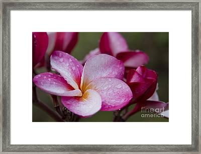 Pua Melia Floral Celebration Framed Print by Sharon Mau