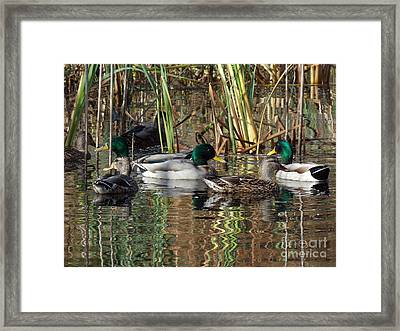 Puddle Ducks Framed Print