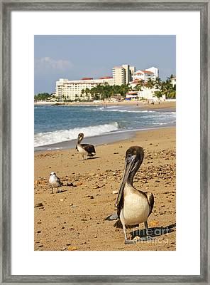 Puerto Vallarta Pelicans Framed Print