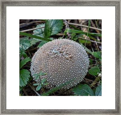Puffball - Ball Formed Mushroom With A Perled Skin Framed Print
