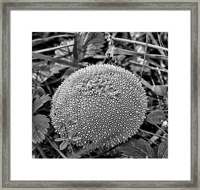 Puffball Bw - Ball Formed Mushroom With A Perled Skin Framed Print