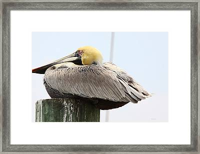 Puffed Up Framed Print by Paula Rountree Bischoff