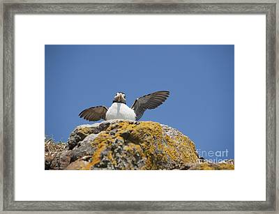 Puffed Up Puffin Framed Print by Anne Gilbert