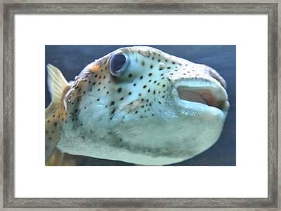 Puffer Fish Framed Print by Amber Davenport