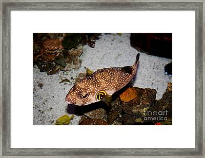 Pufferfish 5d24157 Framed Print