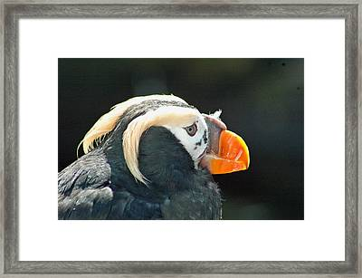 Puffin Framed Print by Annie Pflueger