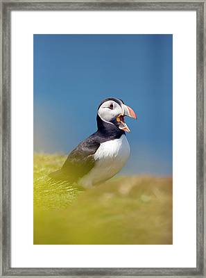 Puffin Calling Framed Print by Simon Booth