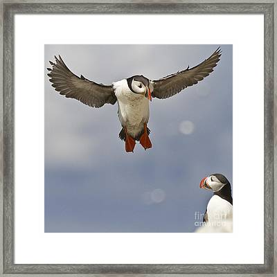 Puffin Coming Home Framed Print