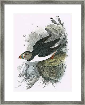 Puffin Framed Print by English School