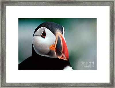 Puffin Head Shot Framed Print by Jerry Fornarotto