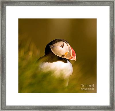 Puffin Portrait Framed Print by Wayne Bennett