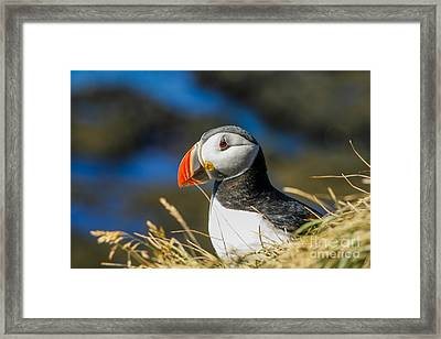 Puffin Profile Framed Print by Patricia Hofmeester