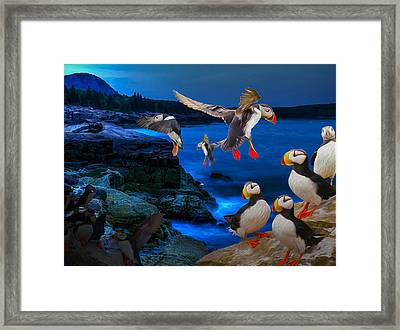 Puffins Bedding Down Framed Print