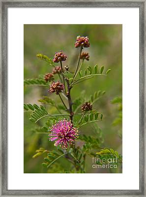 Puffs Of Fragrance  Framed Print