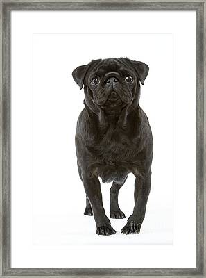 Pug Dog Framed Print