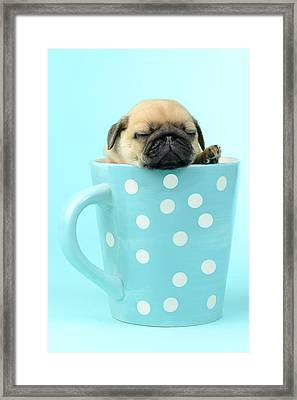 Pug In A Cup Framed Print