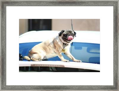 Pug Is In The Air Framed Print by Doc Braham