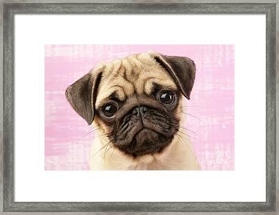 Pug Portrait Framed Print