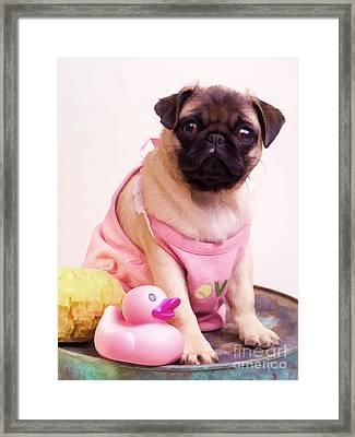 Pug Puppy Bath Time Framed Print by Edward Fielding