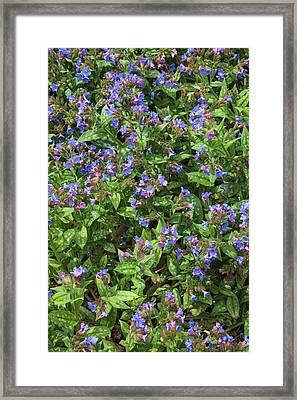 Pulmonaria Angustifolia 'lewis Palmer' Framed Print by Geoff Kidd