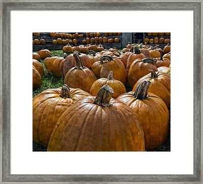 Pumpkin Farm Framed Print by Peter Chilelli