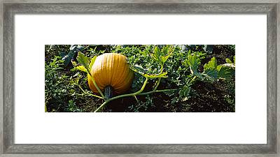 Pumpkin Growing In A Field, Half Moon Framed Print by Panoramic Images