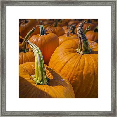 Pumpkin Patch  Framed Print by Scott Campbell