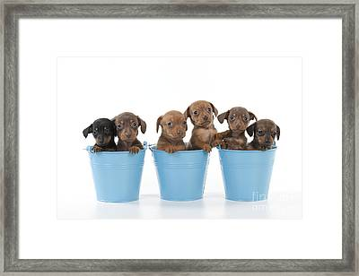 Puppies In Buckets Framed Print