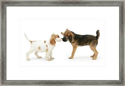 Puppies Nose To Nose Framed Print by Mark Taylor