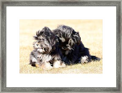 Puppies Playing  Framed Print