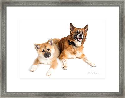 Puppy And Adult Icelandig Sheepdog Framed Print by Iris Richardson