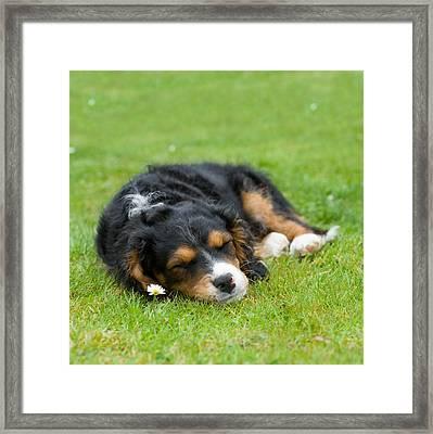 Puppy Asleep With Garden Daisy Framed Print by Natalie Kinnear
