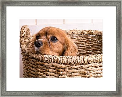 Puppy In A Laundry Basket Framed Print