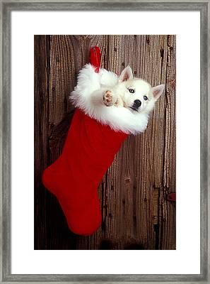Puppy In Christmas Stocking Framed Print by Garry Gay