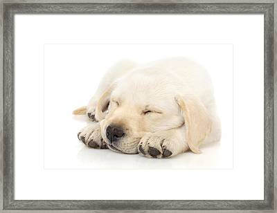 Puppy Sleeping On Paws Framed Print