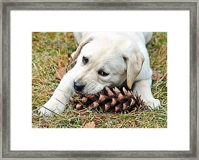 Puppy With Pine Cone Framed Print by Lisa Phillips