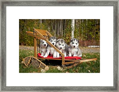 Pure-bred Siberian Husky Puppies In Framed Print by Jeff Schultz