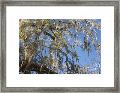 Pure Florida - Spanish Moss Framed Print