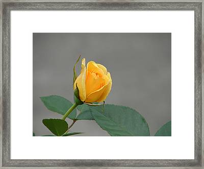 Framed Print featuring the photograph Pure Gold by Lew Davis