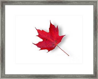 Pure Maple Leaf Joy Framed Print by John Stephens