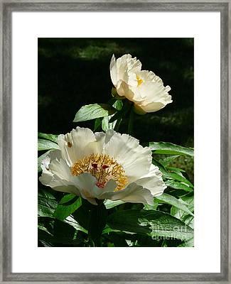 Pure Peony Pleasure Framed Print by Avis  Noelle