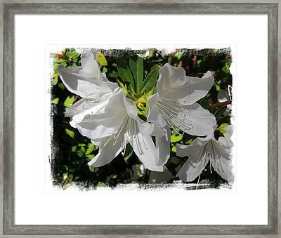 Pure White Azaleas Framed Print by Teresa Schomig