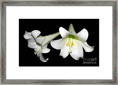 Pure White Easter Lilies Framed Print by Rose Santuci-Sofranko